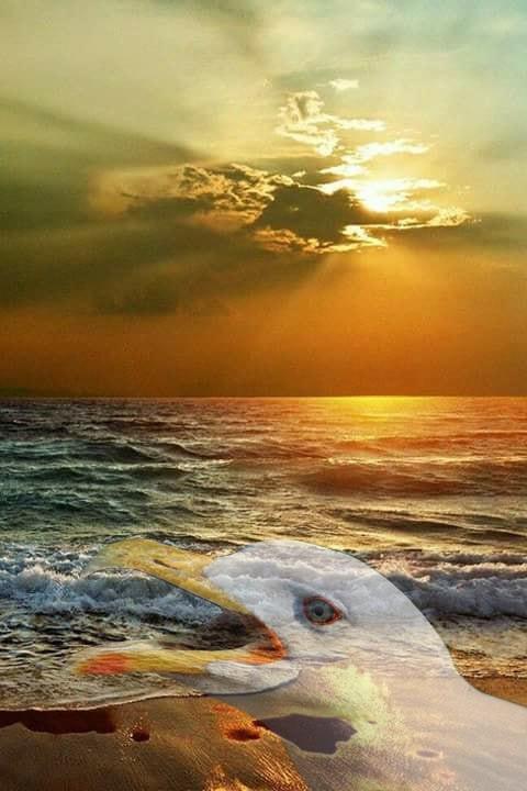 Goéland au coucher du soleil.jpg