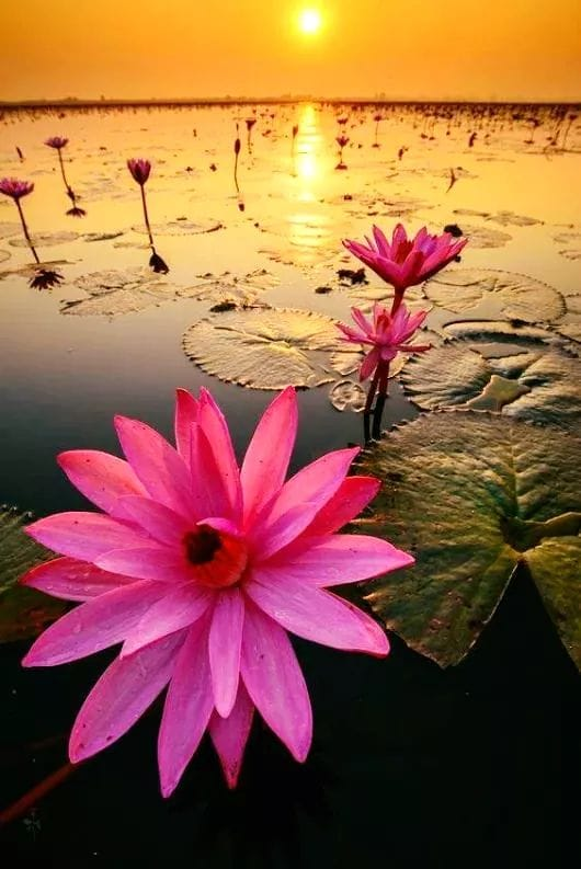 Fleurs d'eau roses.jpg