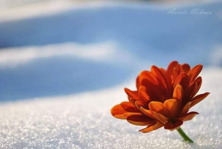 fleur dans la neige.jpg