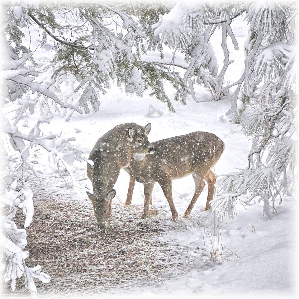 Biche et cerf dans la neige.jpg