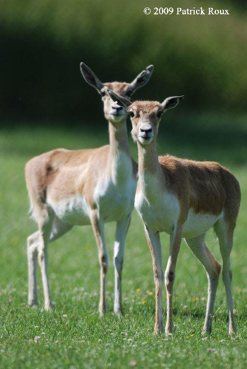 Antilopes cervicapres (Antilope cervicapra) - femelles