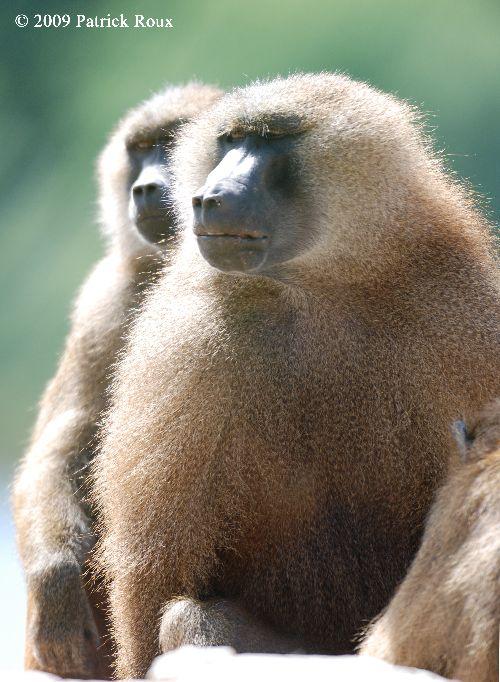 Babouin de guinée (Papio hamadryas papio) - mâles