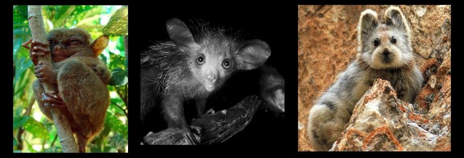 ili tarsier -aye aye- ili pika.jpg