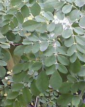 feuilles de monriga