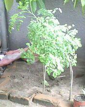 jeunes plantes de moringa