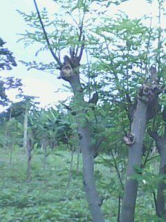 Dans ma plantation de moringa