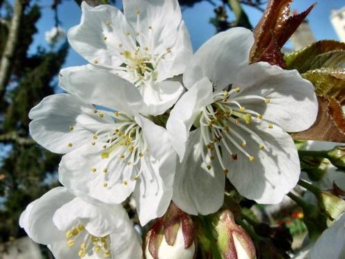 cerisier01.jpg