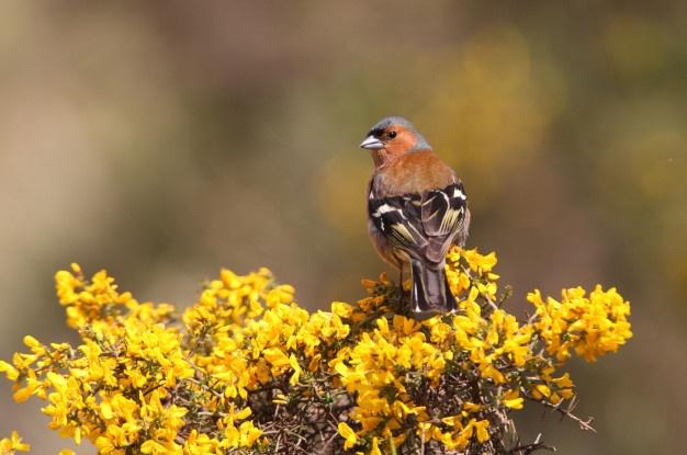 male-pinson-arbres-oiseaux-passereaux-pinson-arbres-fringilla-coelebs_153442-1197.jpg