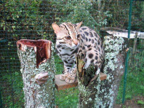 Chat leopard d asie localisation description statut - Chat type leopard ...