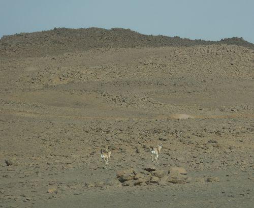 Gazelles à l'Assekrem, Algérie
