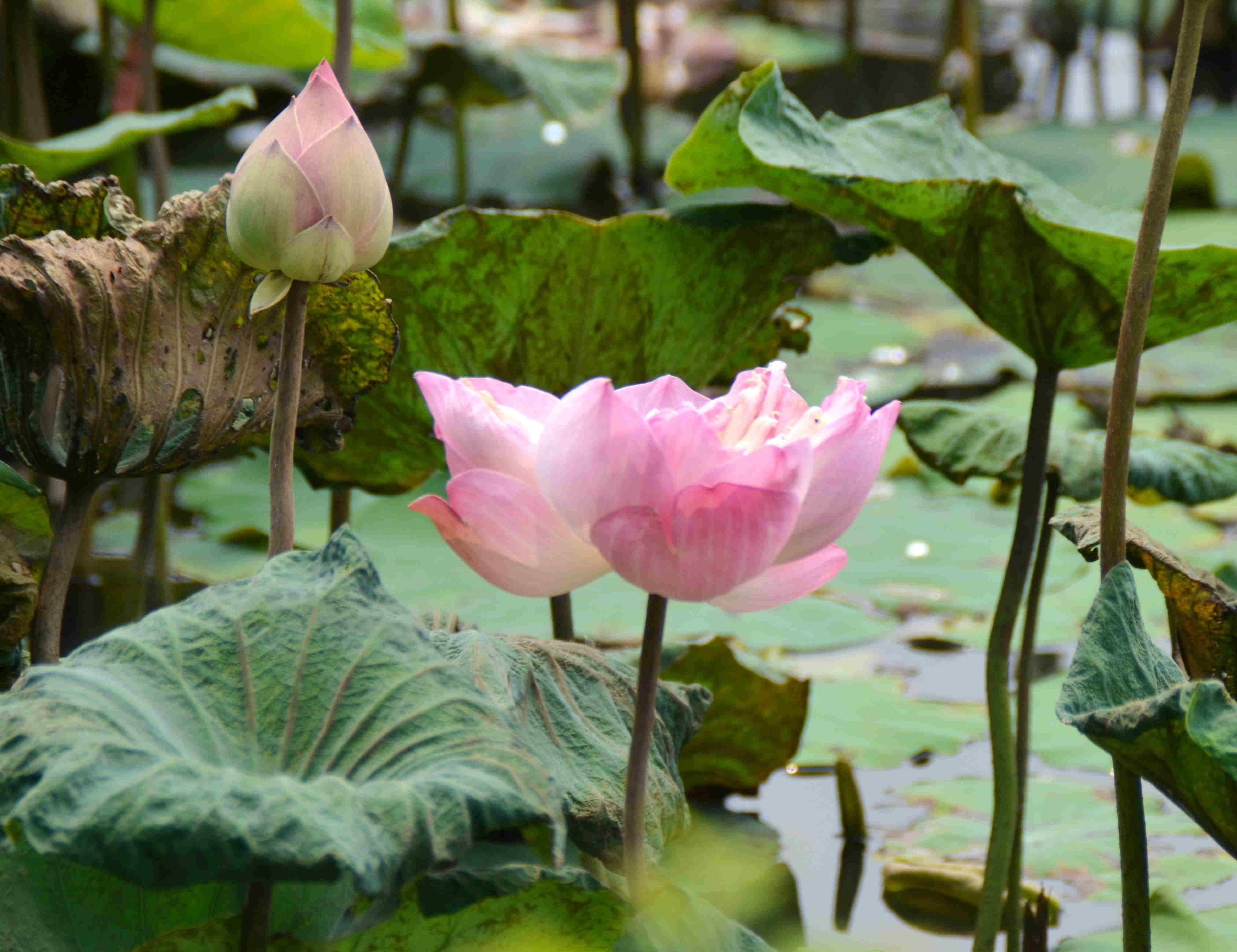 Lotus003.jpg