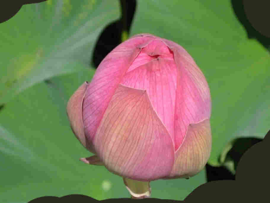 Lotus005.jpg