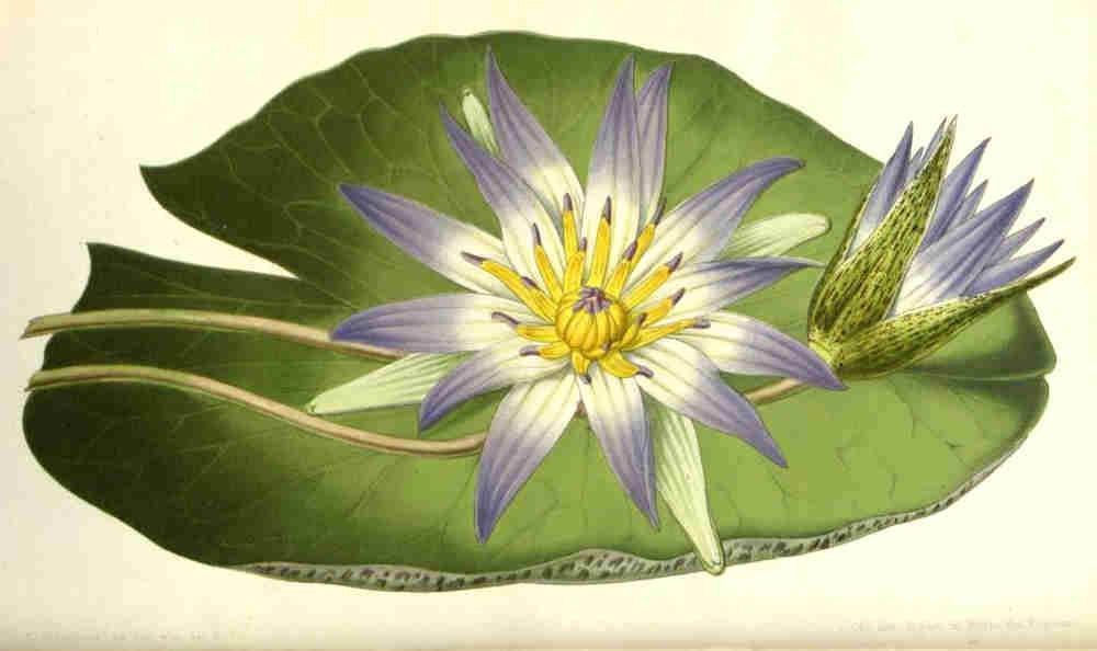 Lotus008.jpg