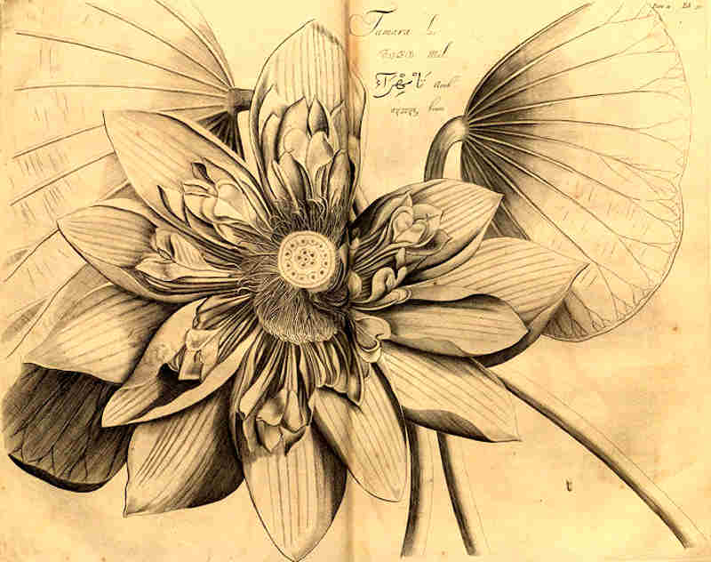 Lotus011.jpg