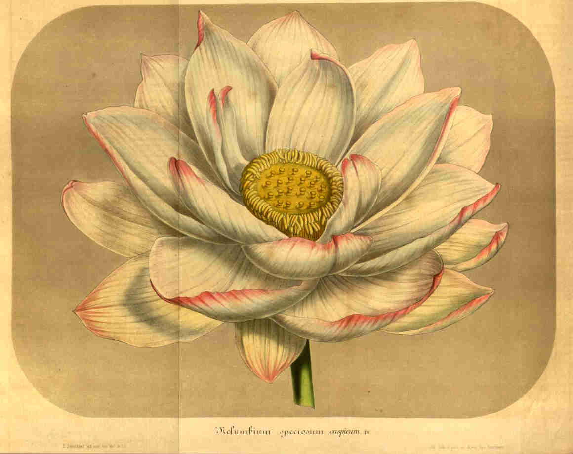 Lotus023.jpg