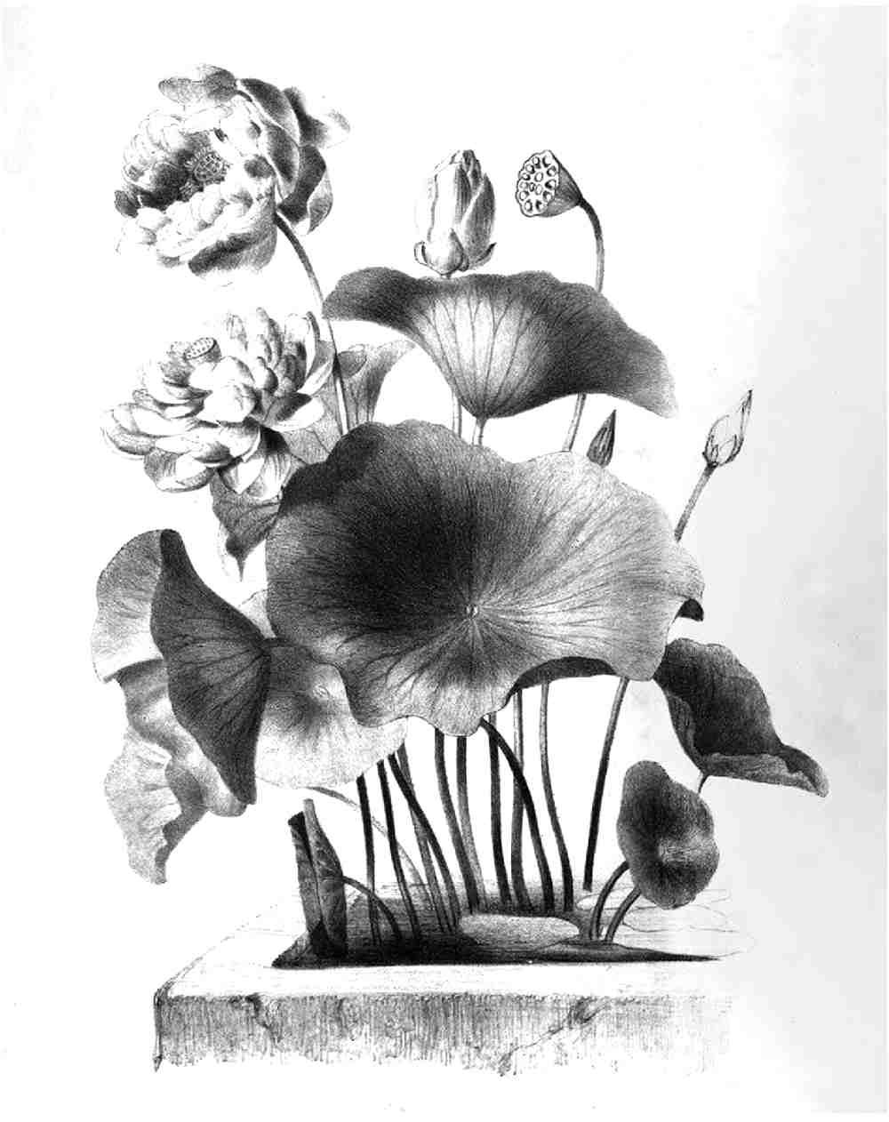 Lotus024.jpg
