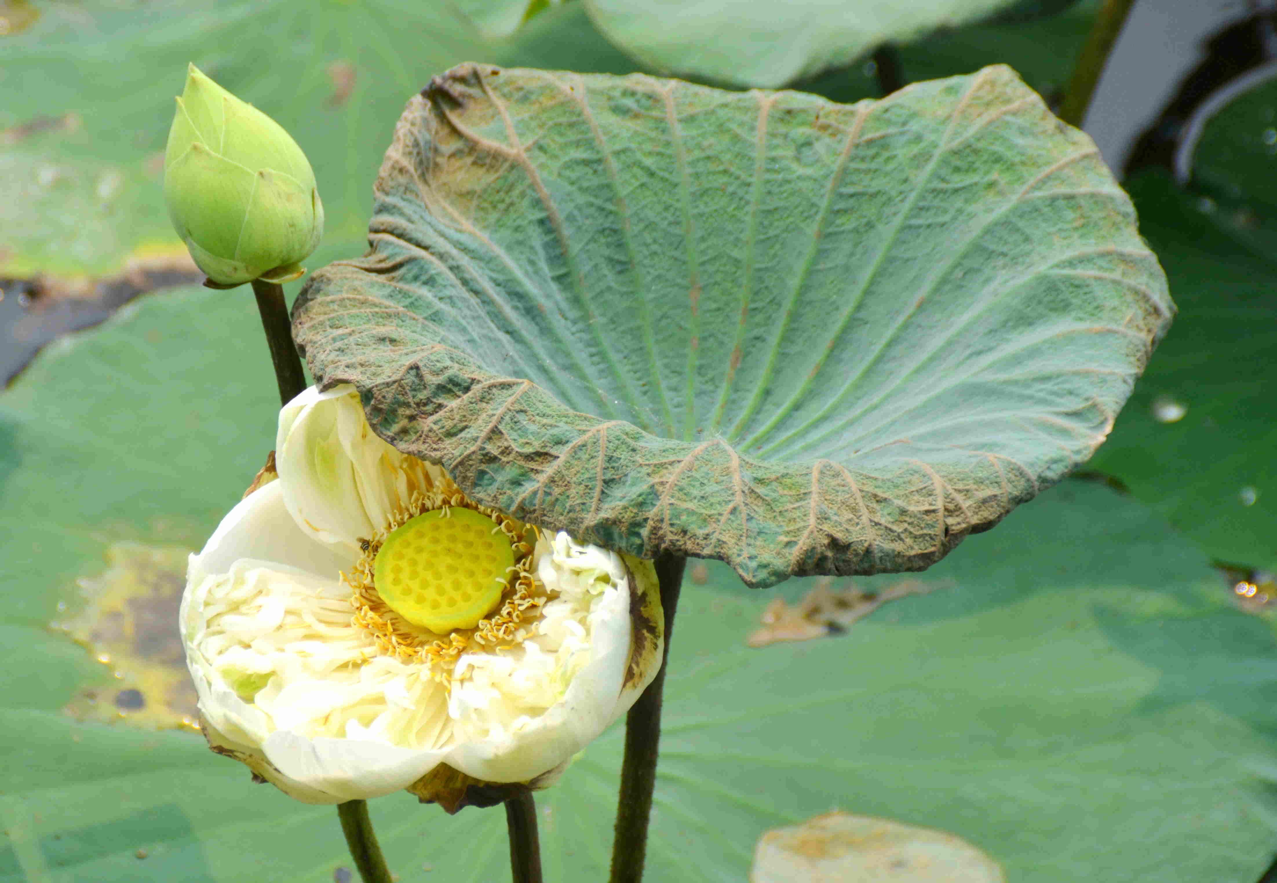 Lotus041.jpg