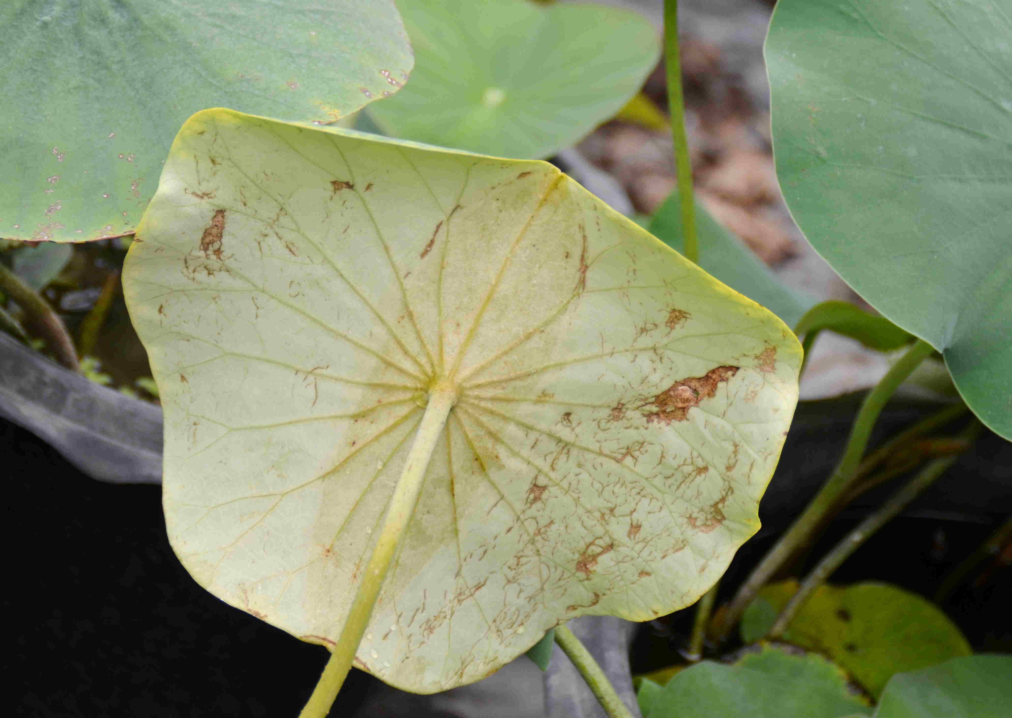 Lotus042.jpg