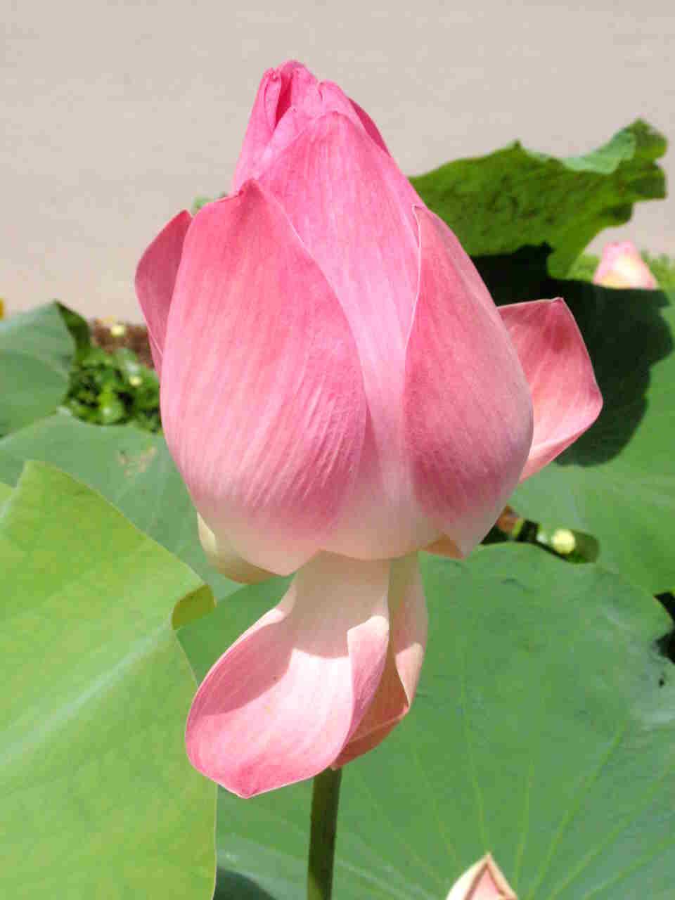 Lotus045.jpg