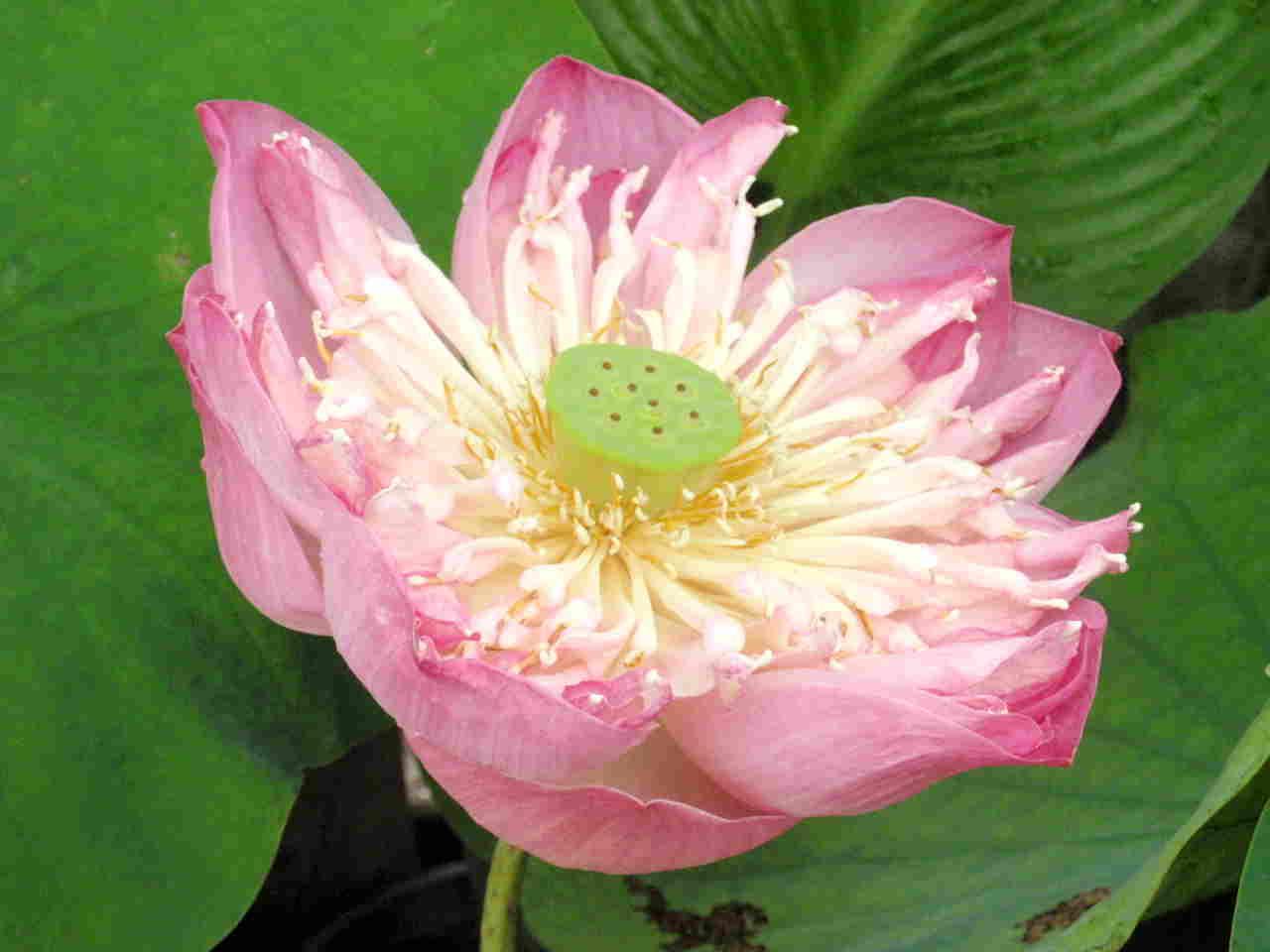 Lotus047.jpg
