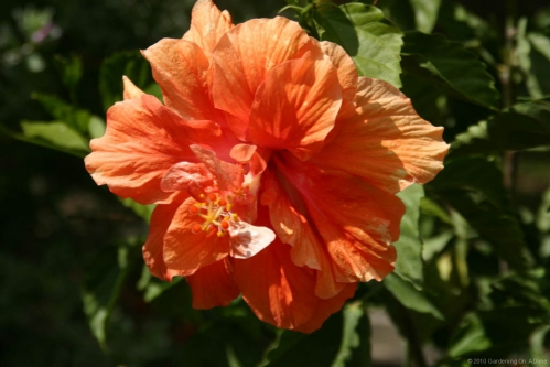 hibiscus-double-orange.jpg