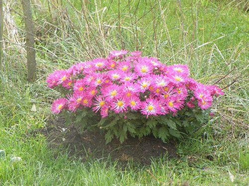 mon chrysanthème