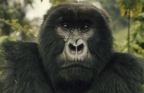 digit-stare-gorilla.jpg