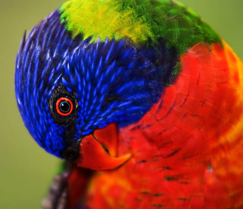 Le Perroquet.jpg