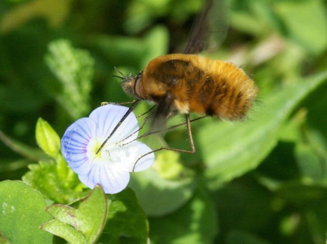 bombyle-pollinisation.jpg