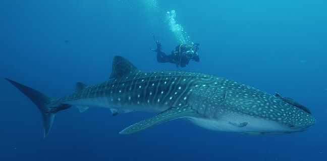 Requin-Baleine-4.jpg