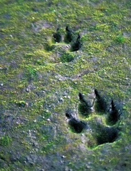 Canis Lupus Traces.jpg
