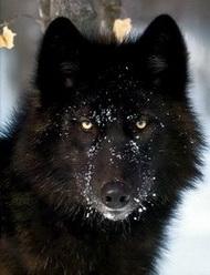 Loup Noir.jpg
