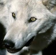 5 Le Loup Blanc.jpg