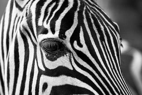 Zebra-image-DC-1.jpeg
