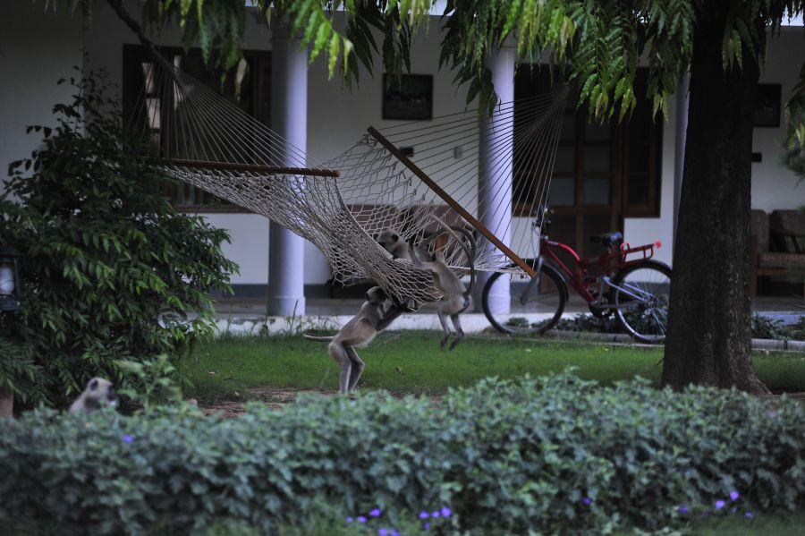 Les Langur adorent les hamacs de l'hôtel!