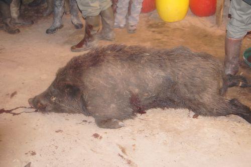 un joli sanglier de 135 kg prélevé par Anthony AUBERT (2011-2012)