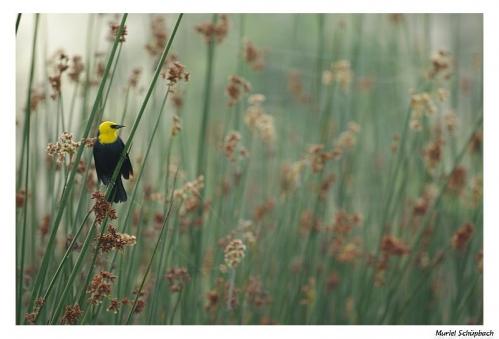 Yellow hooded blackbird.jpg