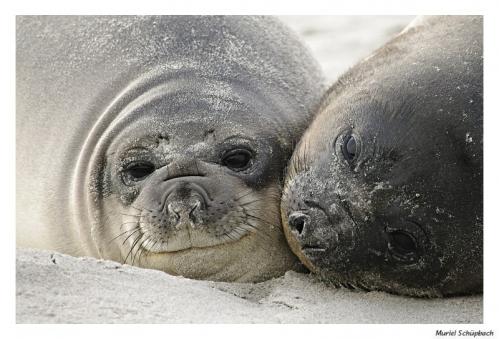 Elephant seal 12.jpg