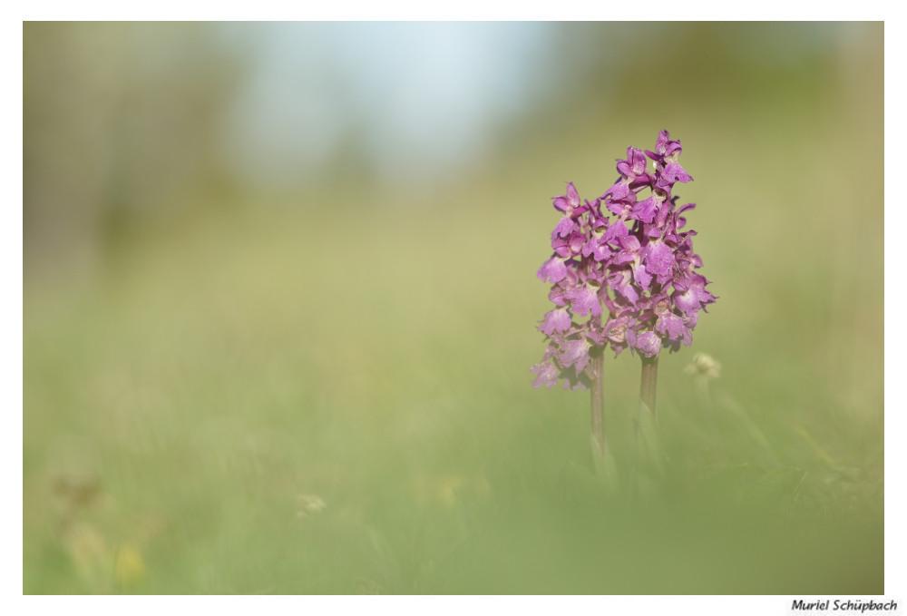Mai 2018 - Orchis mâle