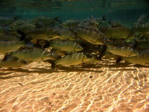 Rio prata, poissons n°2