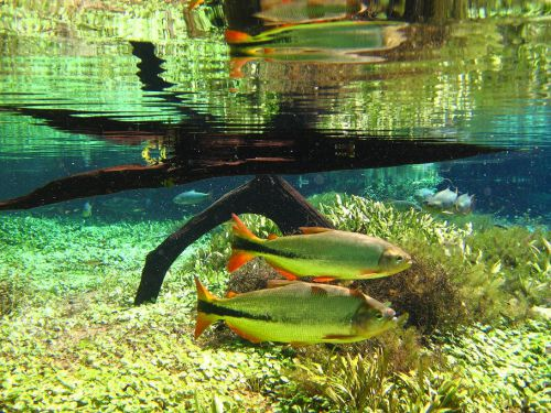 Rio prata, poissons n°1