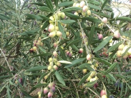 Branche d'olivier et ses olives