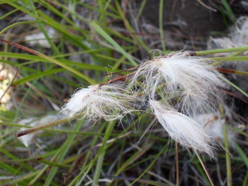 Linaigrette à feuilles étroites - Site de Bouillouses 08/2012