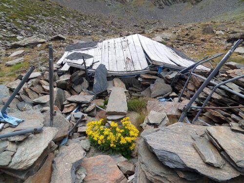 Arnica des montagnes - Site des Bouillouses 08 2012
