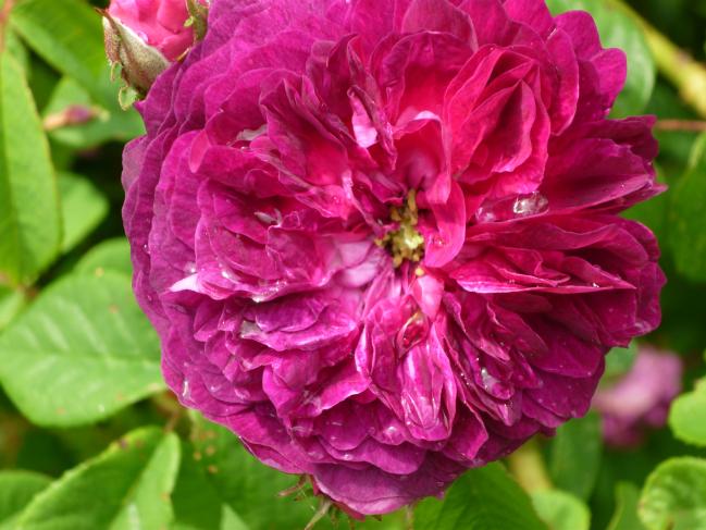 une autre rose du même rosier