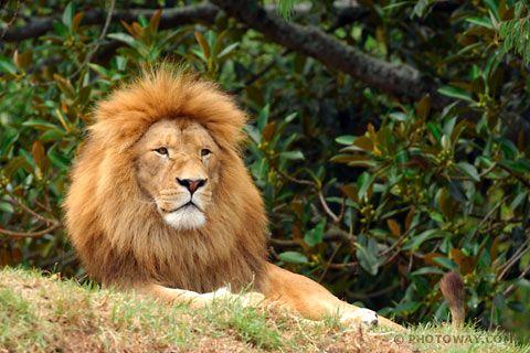 Beau lion