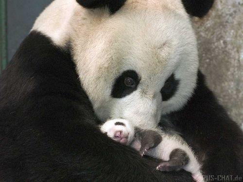 Maman panda et bébé panda