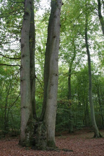 Le chene cuve est né grace a 5 arbres qui ce sont soudée, il a près de 400 ans !!