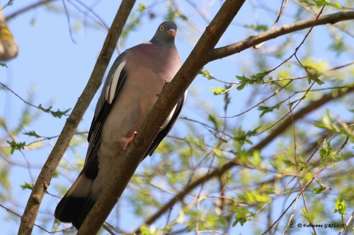 Pigeonramier_4920.JPG