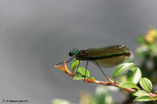 Calopteryx_2375.JPG
